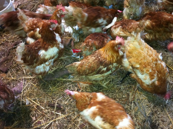 rescue hens - pethelpers.ie